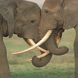 2-elephants-fighting