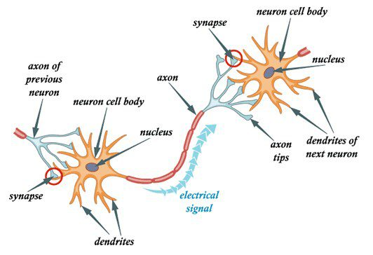 Neuron, 4 steps